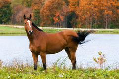 Bay horse in autumn stock photography