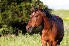 Bay horse on a background of green grass. Bay horse on a green background looking into the distance royalty free stock images