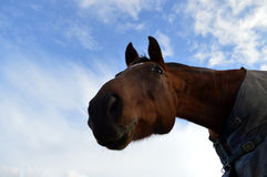 Bay horse from below Royalty Free Stock Image