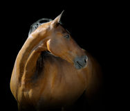 Bay horse on black. Bay horse on a black portrait Royalty Free Stock Image