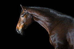 Bay horse on black background Royalty Free Stock Photo