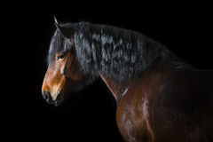 Bay horse on black background Stock Photo