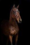Bay horse on black. Beautiful bay stallion on black background Stock Photo