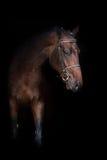 Bay horse on black. Beautiful bay stallion on black background Stock Image