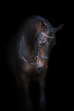Bay horse in bridle Royalty Free Stock Images