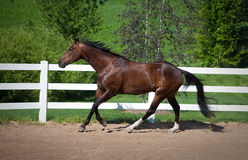 Bay Horse Cantering in arena Stock Photo