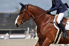 Bay horse cantering Royalty Free Stock Images