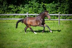 Bay Horse cantering up hill Royalty Free Stock Images