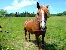 Bay horse close up Stock Photos