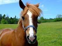 Bay horse close up. Lunenburg County Nova Scotia Canada Stock Images