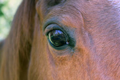 Bay Horse Close up Royalty Free Stock Photos