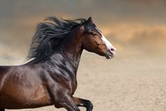 Bay horse close up portrait with long mane