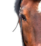 Bay horse close up on a white background. Half royalty free stock photo