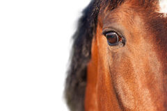 Bay horse close up on a white background. View stock photography