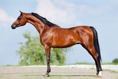 Bay horse - conformation. Bay horse standing side view - conformation Stock Photography