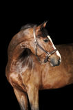 Bay horse in the dark. Bay horse stallion portrait on the black background Royalty Free Stock Photo