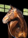 Bay horse on dark background Stock Photo