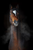 Bay horse in dark, clouds of steam Royalty Free Stock Images