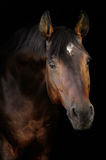 Bay horse in darkness. Bay horse isolated on the black Royalty Free Stock Images