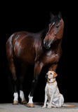 Bay horse and dog on the black background. Bay horse and dog friends isolated on the black background Royalty Free Stock Photography