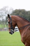 Bay horse dressage. Head and shoulders of bay horse prepared for dressage with show tack Stock Image