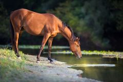 Horse drink water. Bay horse drink water in river at sunrise stock images