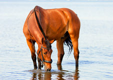 Bay horse drinking water. Bay beautiful horse standing in water and drinking stock photos