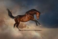 Bay horse in dust. Bay horse in desert dust on dark background Royalty Free Stock Images