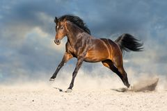 Stallion run free. Bay horse in dust run fast against blue sky royalty free stock photo