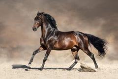 Bay horse in dust. Run fast in desert dust Stock Photos
