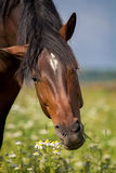 Bay horse eat. White chamomile Stock Photography