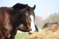 Bay horse eating dry hay. Beautiful bay latvian breed horse eating dry hay on sunny day Stock Images
