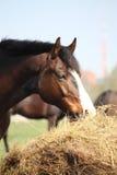 Bay horse eating dry hay. Beautiful bay latvian breed horse eating dry hay on sunny day Royalty Free Stock Photos