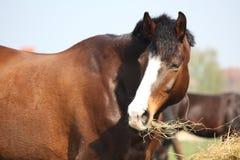 Bay horse eating dry hay. Beautiful bay latvian breed horse eating dry hay on sunny day Stock Photo