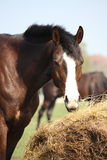 Bay horse eating dry hay Stock Photos