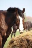 Bay horse eating dry hay. Beautiful bay latvian breed horse eating dry hay on sunny day Stock Photos