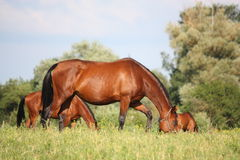 Bay horse eating grass at the grazing Stock Photos
