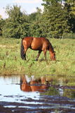 Bay horse eating grass at the pasture Royalty Free Stock Image
