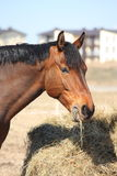 Bay horse eating hay at the countryside. Light bay horse eating dry hay Stock Images