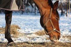 Bay horse eating hay in winter Royalty Free Stock Photo