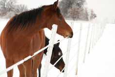 Bay horse eating ice off a fence wire Royalty Free Stock Photos