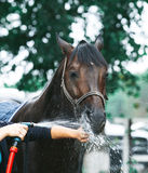 Bay horse enjoying the shower Royalty Free Stock Image