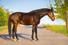 Horse exterior outdoor. Bay horse exterior  outdoor on summer landscape Royalty Free Stock Image