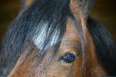 Bay horse eye close up Royalty Free Stock Photography