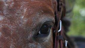 Bay horse eye close up stock video footage