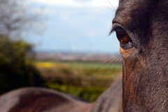 Bay horse eye portrait with oof background fields and sky. Bay brown  horse  portrait in field - close up of eye with fields and sky out of focus in the Royalty Free Stock Photography