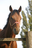 Bay horse in the farm behind the fence Royalty Free Stock Photos