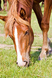The bay horse feeding Royalty Free Stock Photography