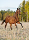 Bay horse on field Royalty Free Stock Photos
