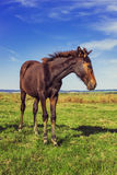 Bay horse in the field on the sky background Stock Photo